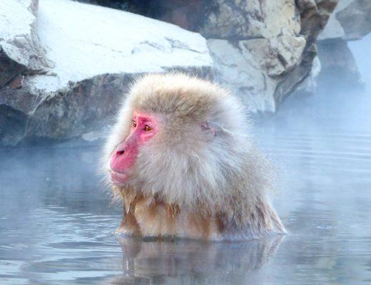 Japan-Urlaub mit Schneeaffen im Jigukudani Monkey Park