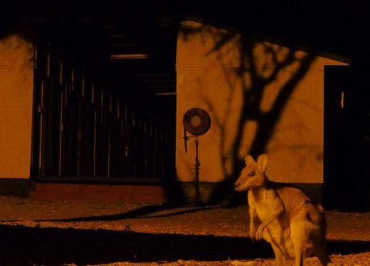 Insect Attack im Outback und ein feuchter Wallabykuss - Wallaby lauert im Dunkeln