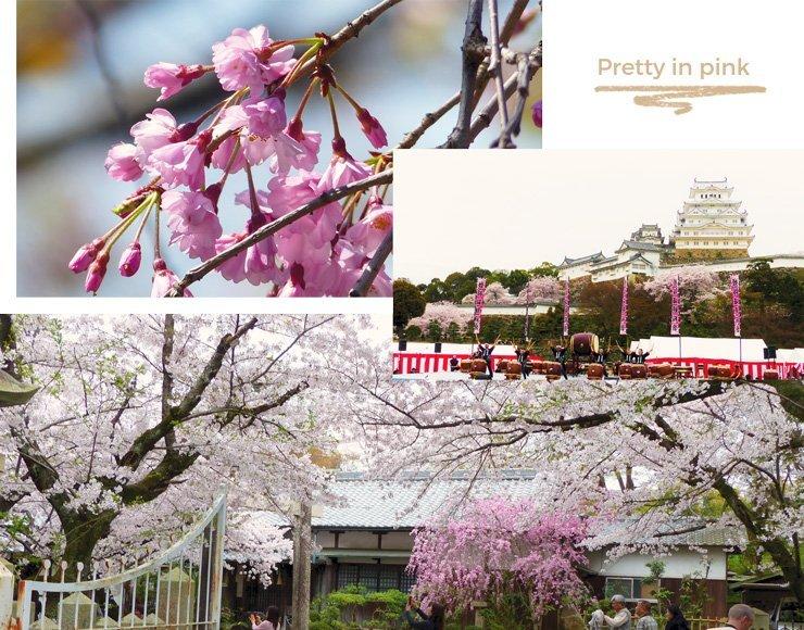 japanische-kirschblüte