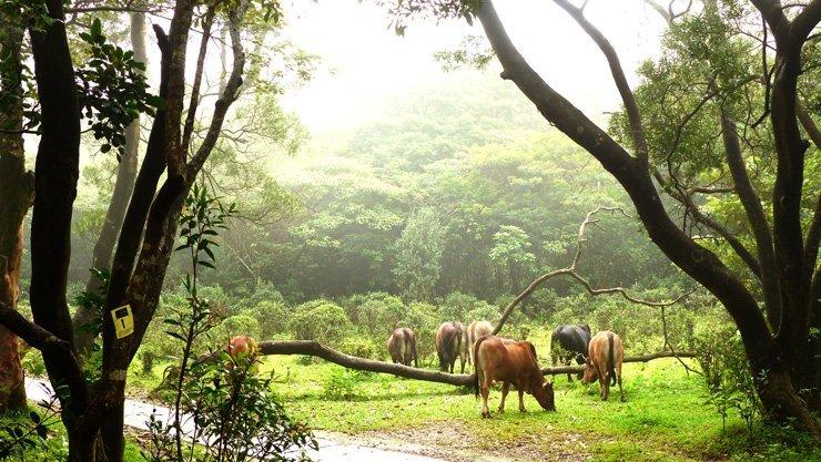 Lantau Island Hong Kong und die Kühe