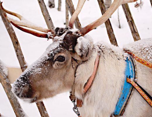 10 unschlagbare Gründe das finnische Lappland im Winter zu besuchen - Rentiere