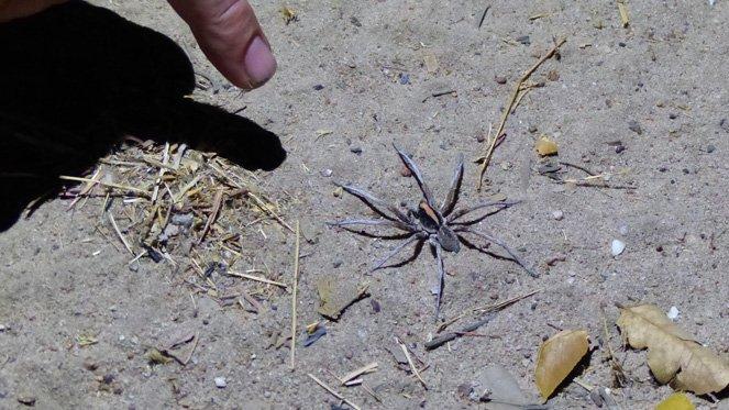 Insect Attack im Outback und ein feuchter Wallabykuss - spinnenalarm