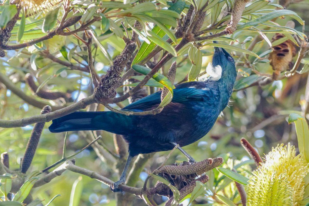 Tui Vogel im Baum