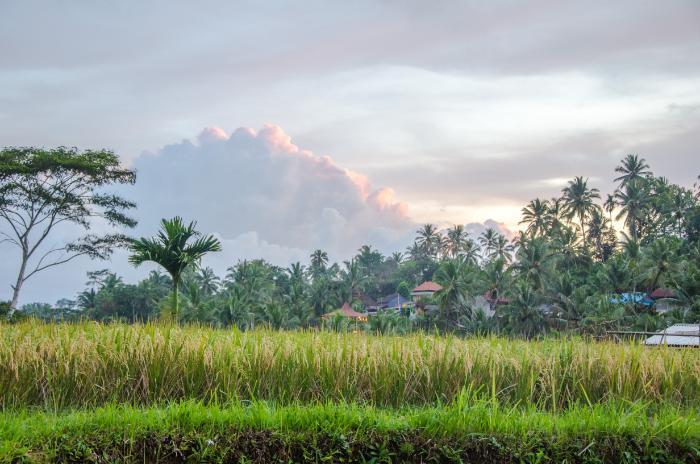 Reisfelder um Tegalalang herum
