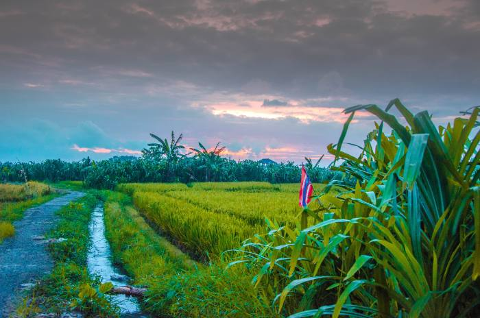 Canggu Bali Reisfelder