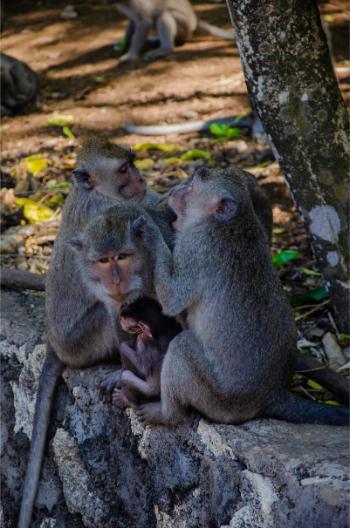 Affenfamilie im Uluwatu Tempel
