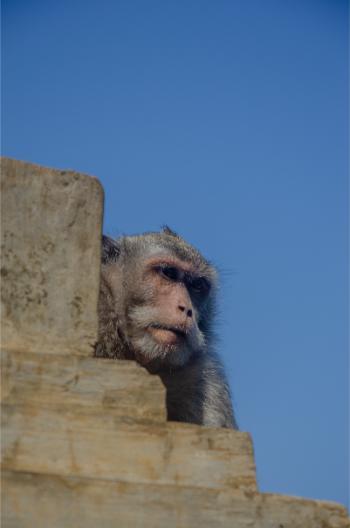 diebischer Affe im Uluwatu Tempel
