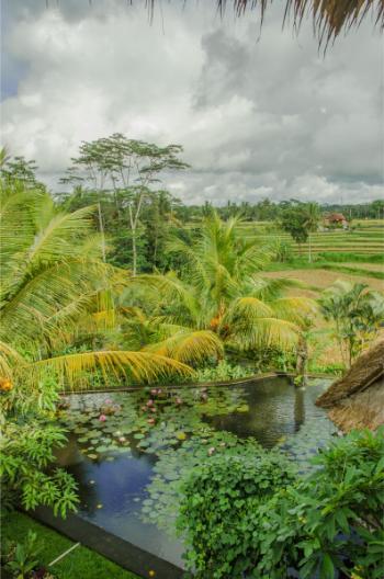 Ubud Hotel inmitten der Reisfelder und bei Lotusteich