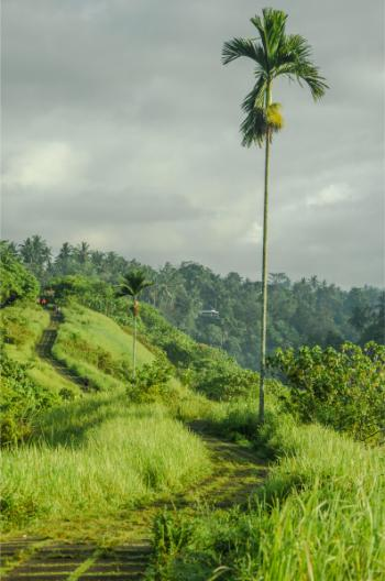 Bewölkter Tag auf dem Campuhan Ridge Walk bei Ubud Bali mit einzelner Palme