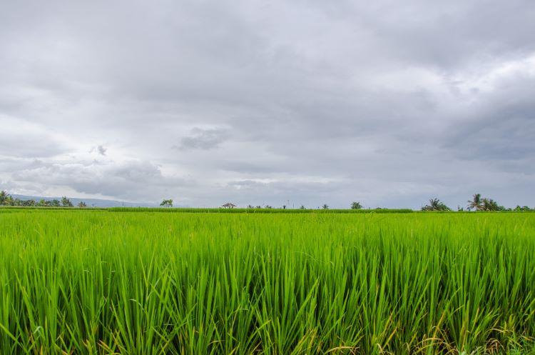 Reisfeld nahe Negara in Bali