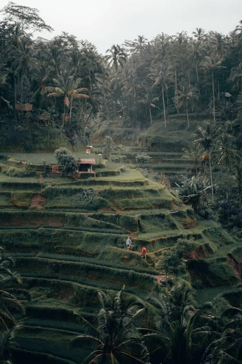 Reisfelder in Tegalalang