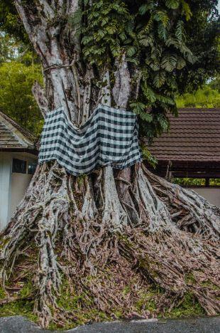 heiliger Baum in Bali