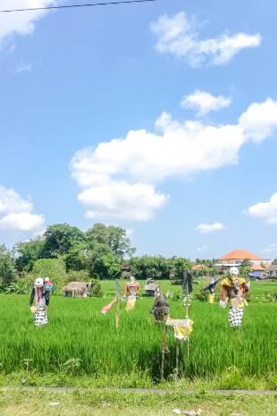 Reisfelder mit Vogelscheuche