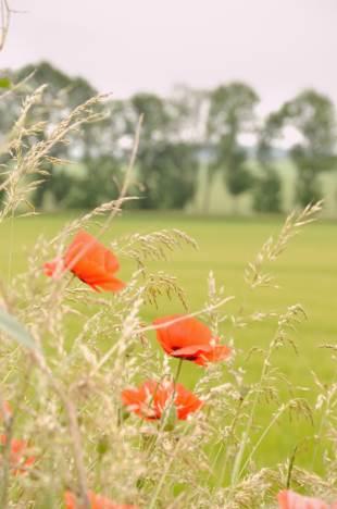 Mohnblumen auf Feldern im Weimarer Land