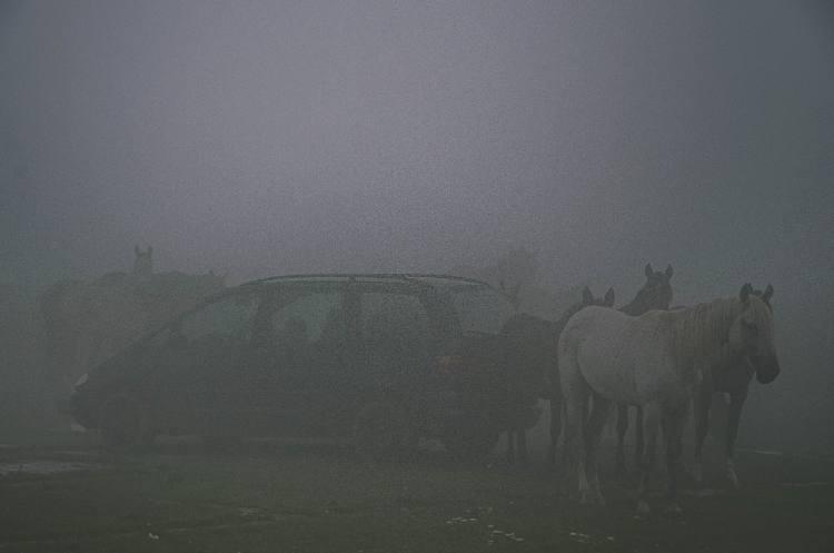 wilde Pferde am Aurto im Nebel