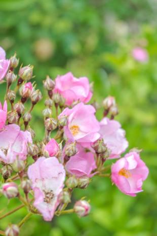 zarte rosa Rosen