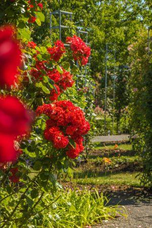 rote Kletterrosen im Sangerhausen Rosarium