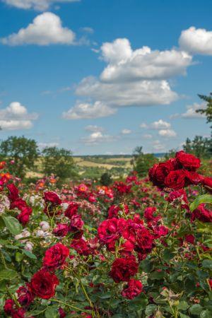 rote Rosenlandschaft im Rosarium in Sangerhausen