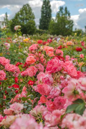 rosa Rosenbusch im Sangerhausen Rosarium