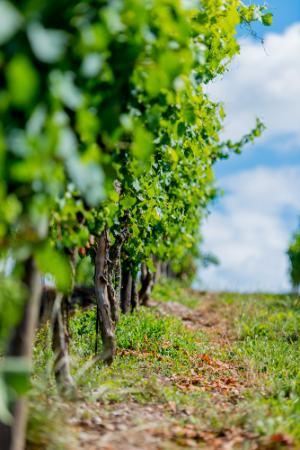 grüne Weinreben mit Pfad
