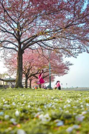 Kirschblütenallee in Shibamata, Tokio