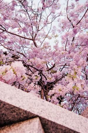Kirschblütenbaum in Shibamata, Tokio
