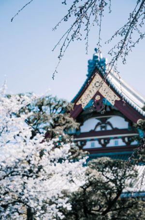 Kirschblüten im Sensoji Tempel