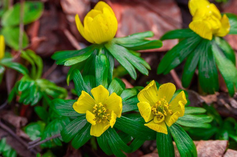 gelbe Blüten der Winterlinge mit grünen Blättern von oben fotografiert