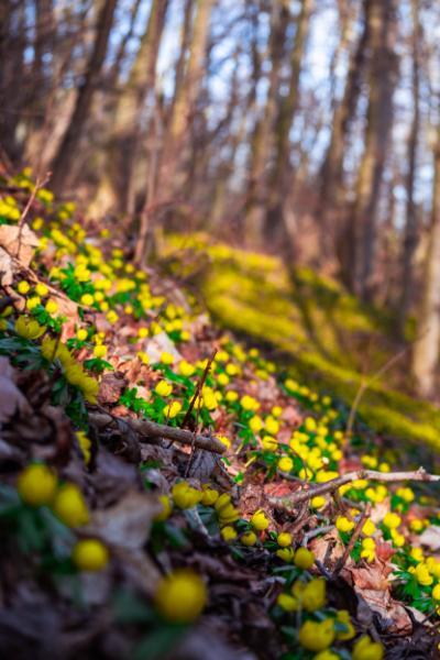 Blütenmatten der Winterlinge auf dem Waldboden bei Sonnenschein