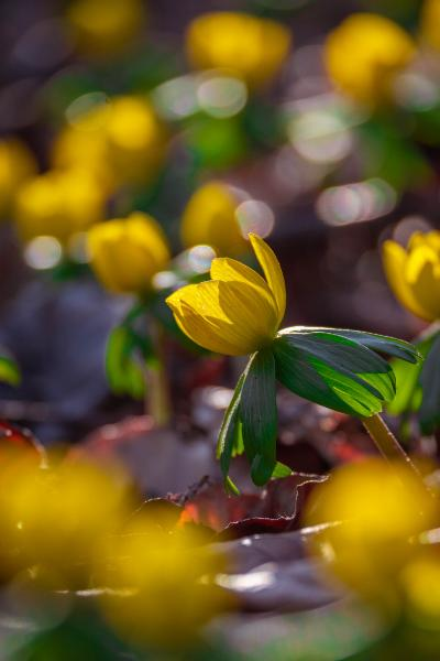 Nahaufnahme der Winterlinge in sattem Gelb