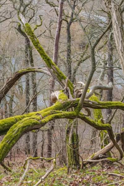 grün bemooste, krumme Bäume im ansonsten kahlen Wald