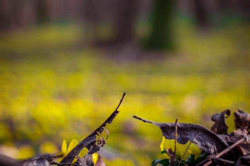 Winterlinge verschwommen als gelber Teppich im Hintergrund mit braunem Laub im Fokus