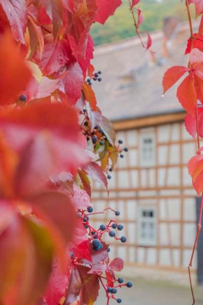 gelbes Fachwerkhaus umringt von roten Weinblättern