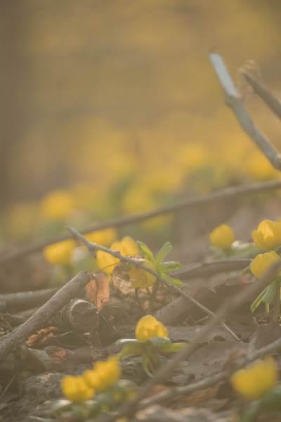 gelbe Winterlinge am Waldboden im Sonnenlicht
