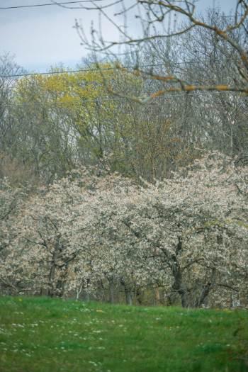 blühende Kirschbäume auf dem Jägerberg in Jena