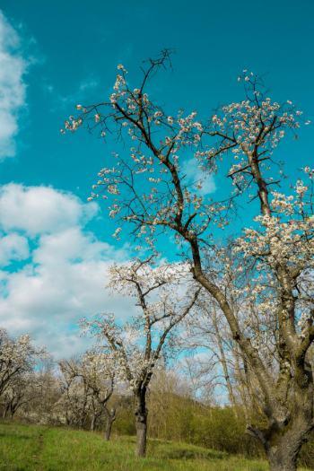 blühende Kirschbäume in Jena