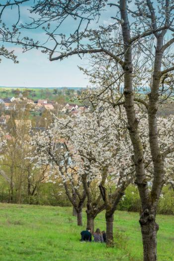 Kirschbäume auf der Lobdeburg in Jena