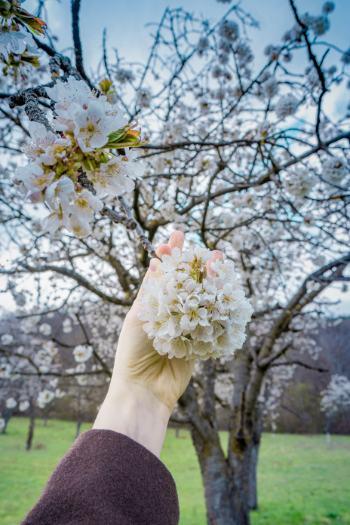 Kirschblüten von Dichtem