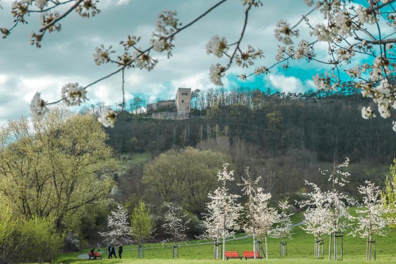 Blick auf die Lobdeburg in Jena zur Kirschblüte