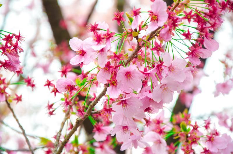 rosa Kirschblüten am Baum
