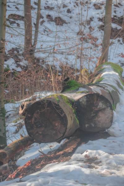 Schnee und Holzstämme im Buchenwald