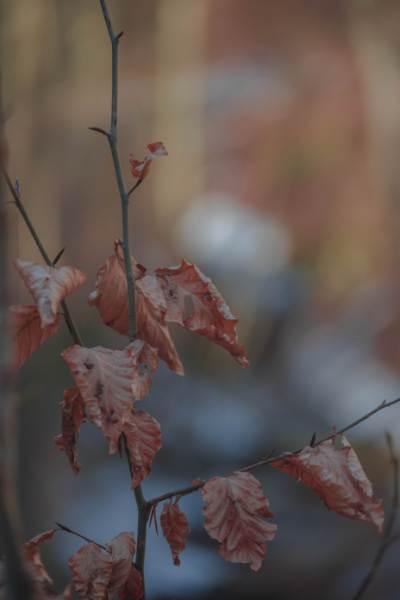 braune Buchenblätter im Wald