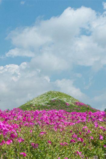 rosa Phlox Blumen an grünen Hügel im rosa Blumen auf dem Shibazakura Festival