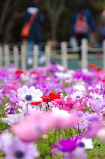 rosa Blumen auf dem Shibazakura Gelände