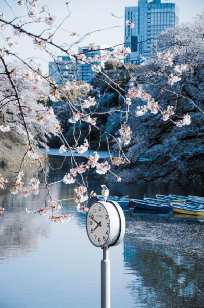 Wassergraben Chidorigafuchi mit Kirschblüten