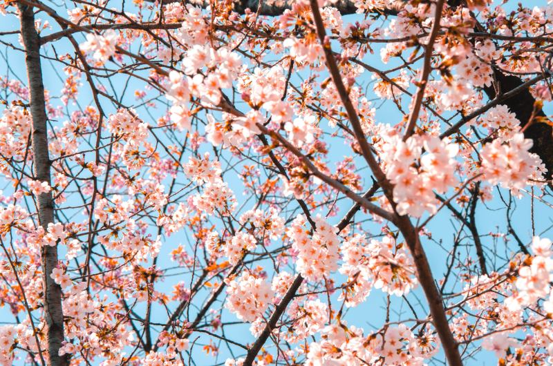 Blick hoch zu rosa Kirschblüten in Tokio