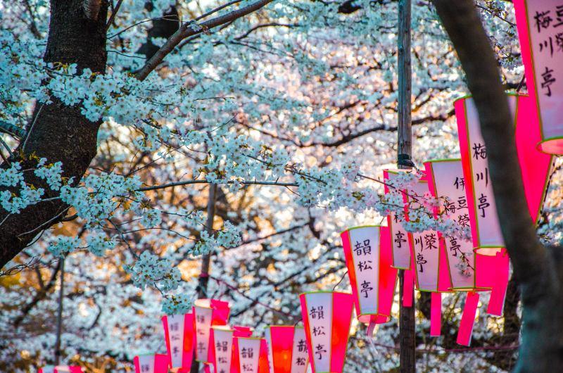 rosa Sakura Laternen in Tokio