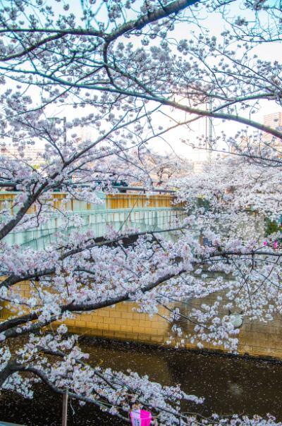 Brücke über Fluss mit blühenden Kirschbäumen