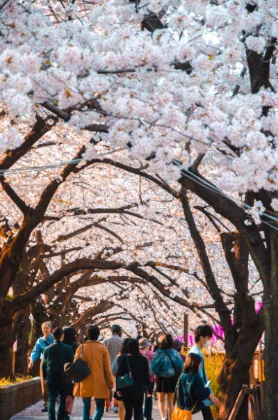 Kirschblütentunnel in Meguro, Tokio