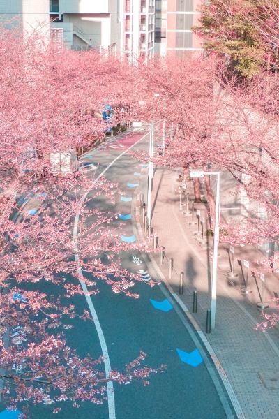 Allee mit Kirschblüten in Tokiovon oben gesehen